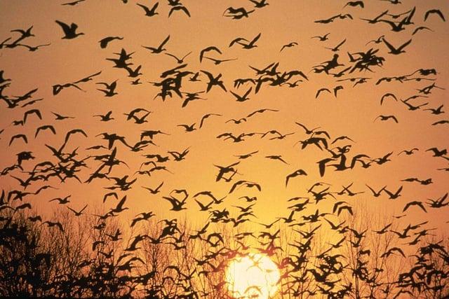 Geese a lot.jpg